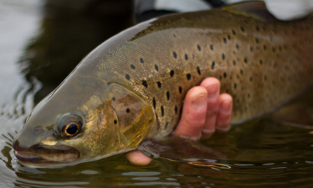 Fly Fishing for Amur Trout in Mongolia